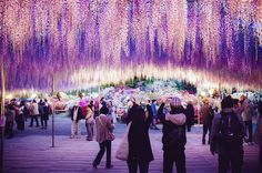 The vines of a wisteria plant in Japan's Ashikaga Flower Park have been trained for over 100 years to resemble a tree that measures 10,000 square feet