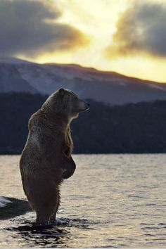 Grizzly bear on its hind legs looking out