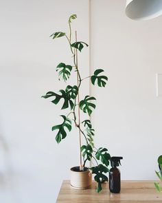 Quite an easy plant to look after. Called the Mini Monstera because of its leaves! Indoor Garden, Indoor Plants, Swiss Cheese Plant, Easy Care Plants, Decoration Plante, Rare Plants, Wooden Pergola Kits, Gardening Supplies, Plant Decor