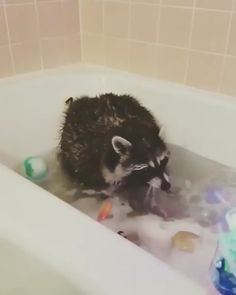 Raccoon playing with the bubbles. - Happy Happy Joy Joy - Raccoon playing with the bubbles. Cute Funny Animals, Cute Baby Animals, Animals And Pets, Cute Animal Videos, Funny Animal Pictures, Funny Cat Memes, Funny Cats, Funny Raccoons, Funny Humor