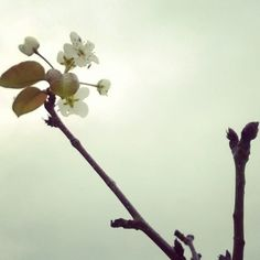 El #peral de la #azotea dando #flor en #imepp_ac #Aguascalientes #Ags #urbanfarming #nublado #flower #sky http://ift.tt/1TeqKGD