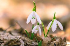 Snowdrops - .