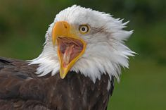 Photograph Bald Eagle by Ronald Coulter on 500px