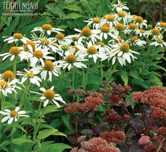 Echinacea 'Little Angel' - This little baby is just heavenly with a profuse collection of fragrant white flowers over a dwarf plant. Flowers are proportional to the foliage and this one makes a great mixer in containers or en masse in the border. 'Little Angel' shows her white wings for an extended period and even reblooms. A feature in our compact series.