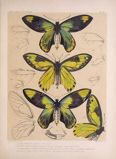 Ornithoptera. Icones ornithopterorum v.1 [London] :Published by the author ... Upper Norwood, London, S.E.,1898-1906 [i.e. 1907] Biodiversitylibrary. Biodivlibrary. BHL. Biodiversity Heritage Library