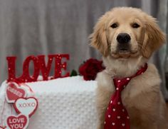 TAG YOUR VALENTINE!! Little Bo was incredibly cute!!! And now of course but really !  I am celebrating Valentines with @lizzie.bear @livingthatgoldenlife and @kelly_bove by spreading some love #heartswithtails. #dailydog #dog_features #dogsofinstagram #dogsofinstaworld #insta_dog #ilovegolden_retrievers #gloriousgoldens #goldenretriever #goldens_ofinstagram #mydogiscutest #dogscorner #petsofinstagram #welovegoldens #lacyandpaws #retrieversgram #mygoldenfeatures #inthepetspotlights…