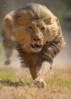 Just Before The Photographer Fled Lions Animal And Cat - Photographer captures angry lion before attack