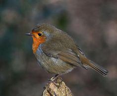 Robin,.. Roodborstje.
