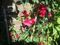 Bloemen van de bouagainville.