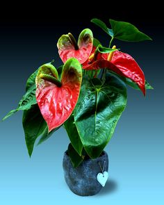 Anthurium is a tropical plant and is native to Central and South America. Flamingo is a genus of over 1000 species of plants.