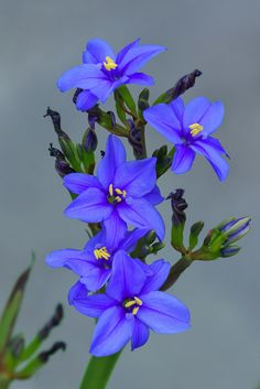 Aristea ecklonii [Family: Iridaceae] - by HIRO. Exotic Plants, Exotic Flowers, Real Flowers, Pretty Flowers, Purple Flowers, Wild Flowers, My Flower, Flower Power, Wonderful Flowers