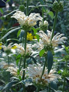 Leonotis Leonurus Alba 10 Seeds, Rare White Lion's Tail Flowers / Ear Or Wild Dagga / Garden Plants by ThePlantAttraction