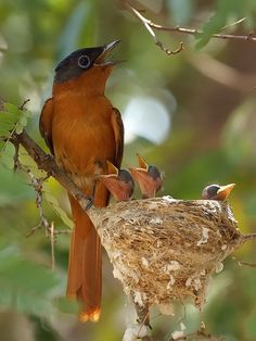 The Birds! precious Bird-of-Paradise Madagascar Paradise-Flycatcher (Terpsiphone mutata) - Choir Practice Kinds Of Birds, All Birds, Love Birds, Pretty Birds, Beautiful Birds, Animals Beautiful, Beautiful Family, Beautiful Pictures, Exotic Birds