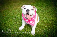 Loved this shoot with the English Bulldog pup