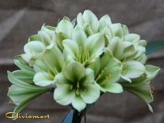 Clivia USA is the best place to Buy Clivia Seed, Purchase Clivia Plants, and Supplies. All Crosses from Top Breeders. Come visit our how to section. Square Foot Gardening, Container Plants, Houseplants, Crosses, Dahlia, Indoor Plants, Perennials, Beautiful Flowers, Orchids