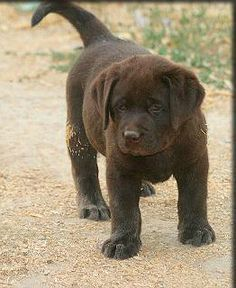 Chocolate lab! We will have one...one day. :)