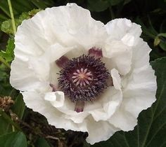 50-Seeds-Papaver-Checkers-Poppy-Checkers-Seeds