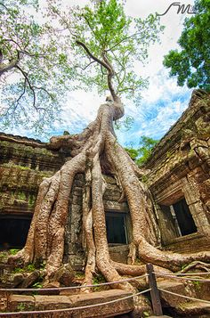 Giant Banyan Tree of Ta Prohm temple in Siem Reap Cambodia by Sunny Merindo History Of Buddhism, Places To Travel, Places To Go, Cambodia Travel, Unique Trees, Big Tree, Landscape Wallpaper, Angkor Wat, Abandoned Places