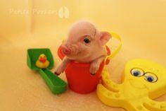 Mini Teacup Micro Nano Dwarf Little Pet Piggies available - petite porkersLittle Piggies - petite porkers