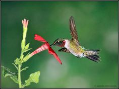 Male Ruby-Throated Hummingbird by SX3shooter, via Flickr