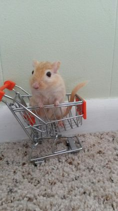 """""""Am I crazy.or are we grocery shopping In the living room? Gerbil Toys, Gerbil Cages, Super Cute Animals, Cute Funny Animals, Animals And Pets, Baby Animals, World Birds, Cute Hamsters, Cute Creatures"""