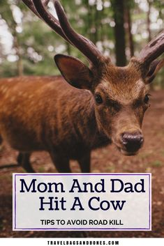 Mom And Dad Hit A Cow~Tips To Avoid Road Kill