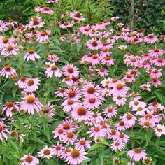 Combine plants with Red coneflower - Echinacea purpurea Combine plants w Echinacea Purpurea Magnus, Colorful Flowers, Wild Flowers, Cedar Plant, Planting Plan, Backyard Makeover, Climbing Roses, Plantar, Landscaping Plants