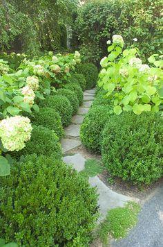 Boxwood hedge and white hydrangeas.