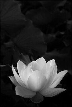 New tattoo lotus flower black white ink Ideas Lotus Flower Colors, White Lotus Flower, Colorful Flowers, Black And White Flowers, White Lotus Tattoo, Lotus Flower Images, Black White, Art Flowers, Lotus Kunst