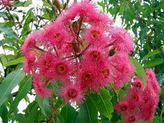 flowers of corymbia summer glory Australian Wildflowers, Australian Native Flowers, Australian Plants, Australian Bush, Australian Garden Design, Australian Native Garden, Pink Garden, Flowering Shrubs, Plant Design