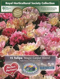 tulips Magic Carpet, Simple Pleasures, Spring Colors, Perennials, Tulips, Bring It On, Flowers, Tulip, Perennial