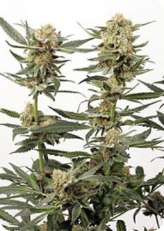 Dutch passion Ortega Indica Feminised Seeds is derived from Northern Lights #1. It is a 100% indica strain that expertly represents everything that is great about its type. The plants themselves are very typical of indicas with tight, bushy formations that are loaded buds that practically drip with sticky resin.   http://www.cannabis-seeds-store.co.uk/feminised-seeds/dutch-passion/ortega-indica-feminised-seeds/prod_219.html