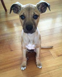 Kelpie cross ridgeback puppy
