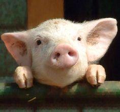 What a cute little pig!