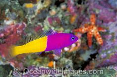 Royal Dottyback Pseudochromis paccagnellae
