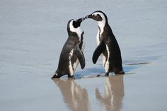 In South Africa, one of the best places to see penguins is Cape Town. Boulder Beach Penguin Colony is the country's most famous African Penguin colony. Penguin Day, Penguin Love, Penguin Parade, Animals Kissing, Cute Animals, Penguin Animals, Wild Animals, Baby Animals, Funny Animals