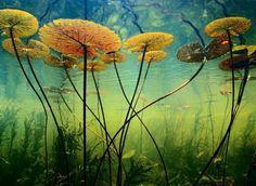 博茨瓦纳 Botswana 奥卡万戈三角洲 Okavango Delta, 水下拍摄的延药睡莲。延药睡莲又名蓝睡莲,花瓣呈蓝色、紫红色或白色带青紫,叶片背面为粉红或淡紫色,通常上午开花,下午及晚间闭合。