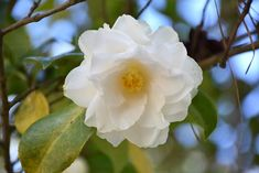 Victory White Camellia Camellia Japonica Victory White At New Garden Landscaping Nursery In 2020 White Camellia Landscape Nursery Native Plants