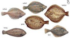 soorten vlees   Platvis soorten - Strogoff FreshFood - Specialist in culinair vlees ...