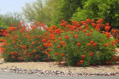 This planting of red bird-of-paradise (Caesalpinia pulcherrima, zones 8 to 11) steals the show in a hot desert garden like the one shown here, but gardeners who receive freezes can get the same look with nasturtium (Tropaeolum majus, annual in all zones), crocosmia (Crocosmia crocosmiiflora, zones 5 to 9) or red hot poker (Kniphofia uvaria, zones 6 to 9).