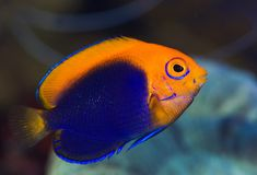 Centropyge acanthops, the African Flameback Angelfish