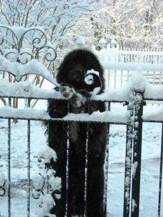 Black Newfoundland dog in the snow