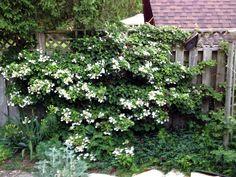 Qu'appelle-t-on un 'hortensia grimpant' ? Il existe en fait plusieurs espèces, sous-espèces et cultivars d'Hydrangea qui peuvent porter ce nom. Ce sont des lianes au charme champêtre, très appréciées pour leur élégante floraison blanche, même en zone ombragée.