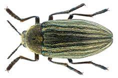 Family: Buprestidae Size: 23 mm Location: Armenia, Khosrov Forest State Reserve, 2200 m leg. A.Chuvilin, 8.VI.2000; det. U.Schmidt, 2015 Photo: U.Schmidt, 2016