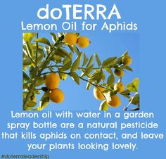 DIY Essential Oil ideas : doTERRA lemon oil for aphids Doterra Lemon Oil, Doterra Essential Oils, Lemon Essential Oils, Essential Oil Blends, Natural Pesticides, Oil Uses, Natural Oils, Gardening Tips, Weed