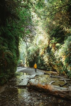 Fern Canyon Trail in the Redwood National Park is one of the best hikes in Northern California! We're sharing directions to Fern Canyon, what to expect, and how to pack for the most magical trip in the Redwoods! #california #northerncalifornia #redwoods. #redwoodsnationalpark #ferncanyon #pacificcoasthighway #sanfrancisco #coastlredwoods #roadtrip #forest #travel #USAtravel #usa #photography #sunset California Coast, Oregon Coast, California Travel, Northern California, Pacific Coast Highway, Highway Road, Painted Hills, Travel Advise, Beach Camping