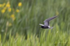 """The Black Tern at Asköviken"" - ( http://www.lensman.se/black-tern-askoviken/ ) has been published on Lensman - Lennart Hessel Photography - Lennart Hessel Photography"