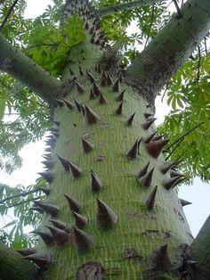 Ceiba Tree, Common Name is 'Kapok', Native to Mexico