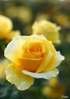Yellow Roses, my favorite!