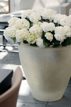 White hydrangea macrophylla